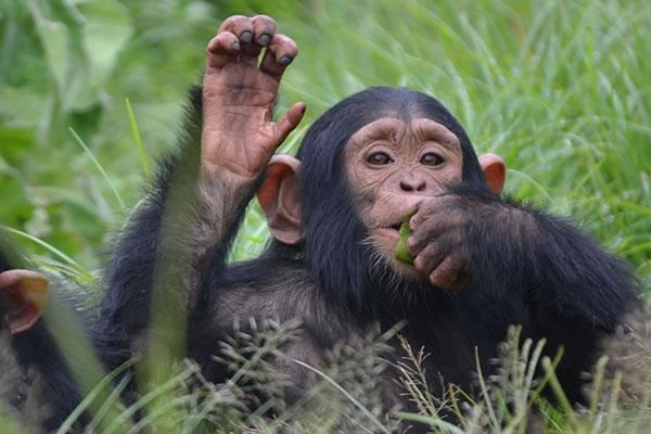 18 Day Uganda Primate Safari