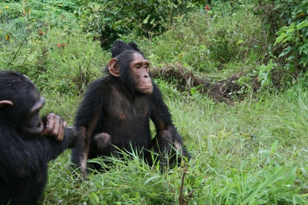 Chimpanzees in Ngamba